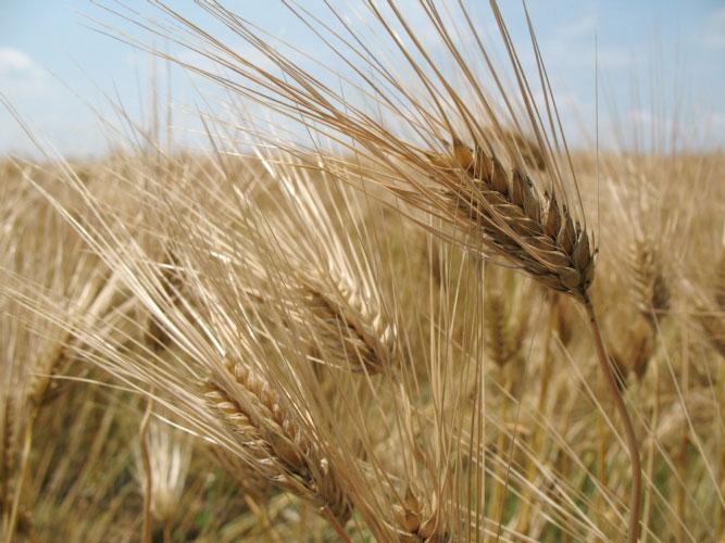 grano-duro-sardegna